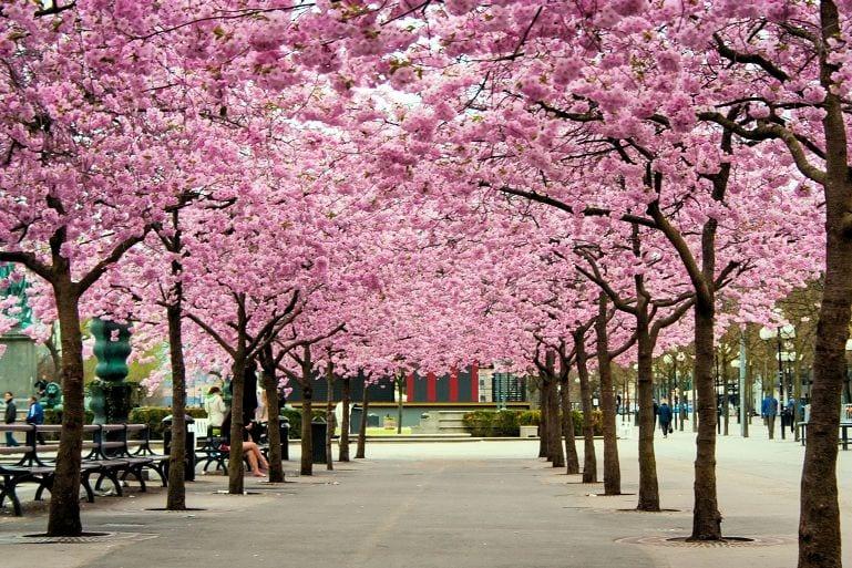 đi du lịch nhật bản tự túc ngắm hoa Anh Đào